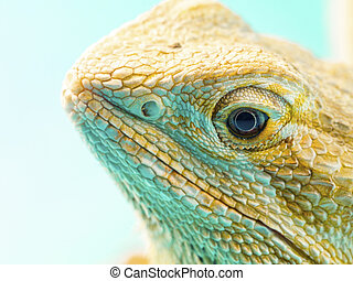 image of a central bearded dragons head - Close-up shot of a...