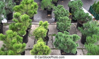 pine seedlings in autumn market - pine seedlings in autumn...
