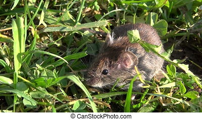 Bank vole Clethrionomys glareolus on grass