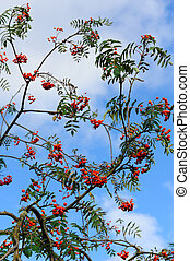 ashberry - branches of ashberry against blue sky