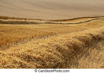 partially harvested wheat field - rural landscape, partially...