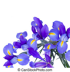 blooming irises flowers isolated on white background