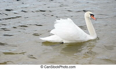 swan bird lake water - closeup white swan bird swim in...