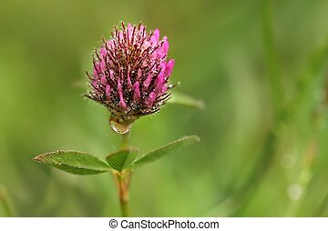 Red clover after the rain - Red clover-macro