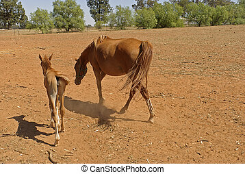 mammal - a mare and young foal in a rural paddock close-up