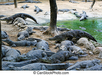 Crocodile farm near Chennai, Tamil Nadu, South India