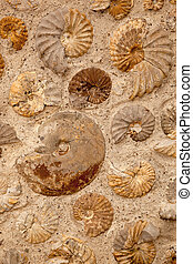 Ammonites - A background texture of ammonite fossils...