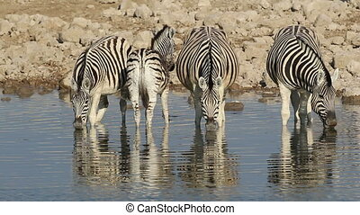 Plains Zebras drinking - Plains Burchells Zebras Equus...