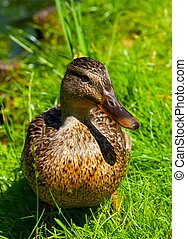 Duck on a green lawn