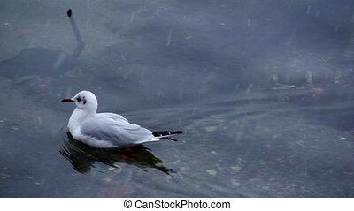 seagull swimming - gabbiano che nuota - mouette natation -...