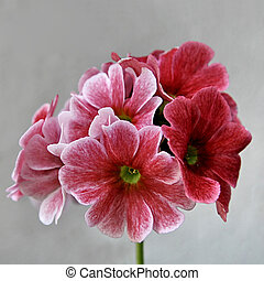 Pink primrose - Beautiful primrose flower in the summer ,on...