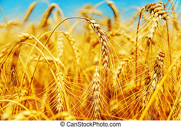 golden barley on field