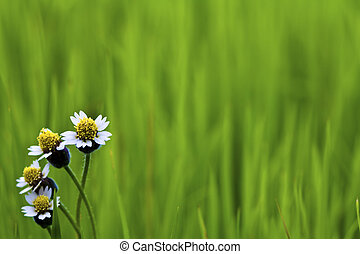 White flower on Green paddy rice