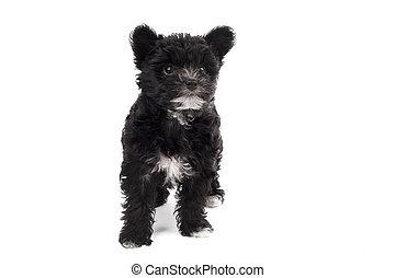 black hairy dog