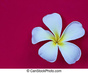 Frangipani flower isolated on red background