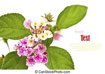 hermoso, flor, (Lantana, camara), aislado, blanco, Plano de...
