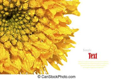 hermoso, amarillo, flor, (African, caléndulas,...