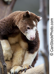 bear like marsupial - Matschies Tree Kangaroo resembling a...