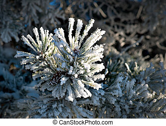 pine needles with snow crystals - Close up of needles with...