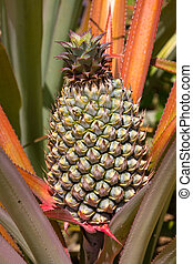 Pineapple plant - Fresh tropical pineapple planting in farm,...
