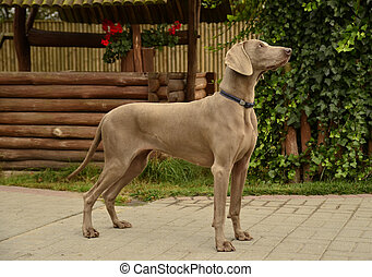 Weimaraner - handling - The photo shows Weimaraner -...
