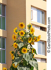 Multilayer building and sunflower in a City - Multilayer...