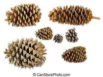 A set of different pine's species cones in scale