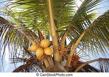 Coconut Palm Tree - Coconuts growing on a palm tree in...