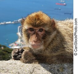 Barbary ape, Gibraltar. - Barbaby Ape lying on wall...