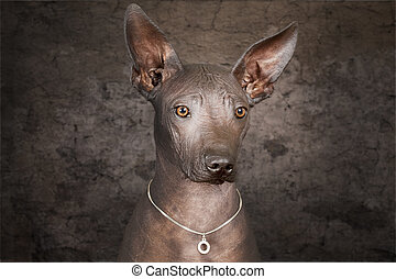 Portrait of Mexican hairless dog - Portrait of Mexican...