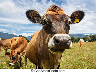 a chewing cow