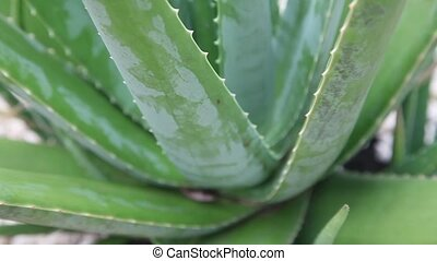 close up of Aloe Vera plant