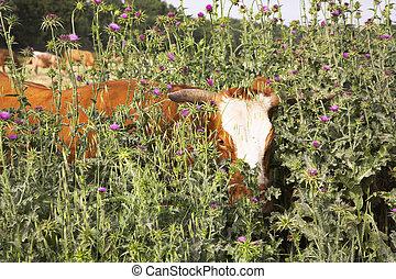 Grazed bull calf - Thrickets of a high grass and grazed bull...