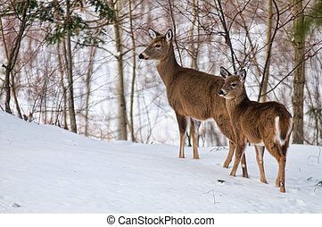 two white tailed deer in a winter forest