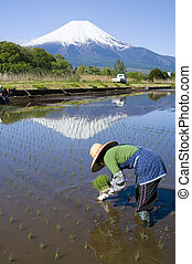 Planting Rice - A woman planting rice at the foot of Mt Fuji...