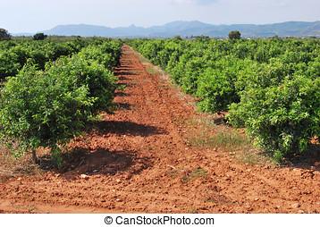 Orange trees in Spain - Rural field of orange trees in Spain