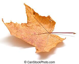 Autumn maple leaf on white background Isolation, shallow DOF...