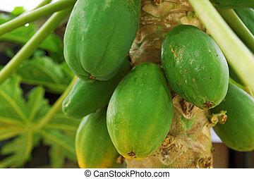 番木瓜樹, 樹