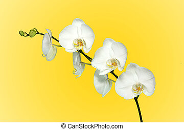 White Orchid With Beautiful Blooms