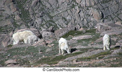 Mountain Goats in the Alpine - mountain goats in the scenic...