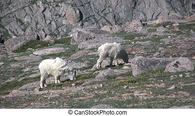 Mountain Goats - mountain goats in the scenic colorado high...