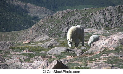 Mountain Goats in the High Country - mountain goats in the...