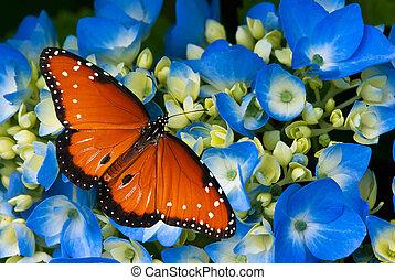 Queen butterfly on hydrangea flower - Queen butterfly...