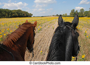horseback riding in the sunflowers - a couple are riding in...