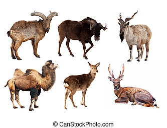 Set of Artiodactyla mammal animals Isolated over white...