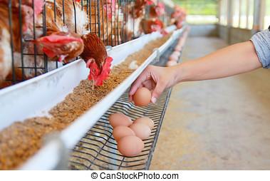 huevos, pollo, granja