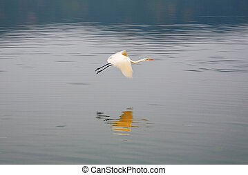 stork flying at the Man Sagar Lake Jaipur, Rajasthan, India...