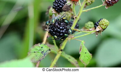 blackberry fly eat berry - macro of blackberry black berries...