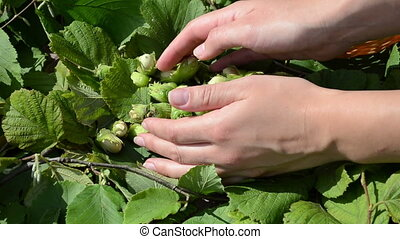 hand pick hazel nut - girl hand pick collect gather ripe...