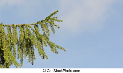 fir tree branch sky